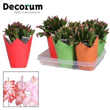 Schlumbergera - 13 cm - Gift Wrap Mix - Decorum