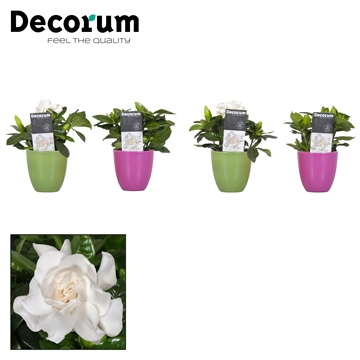 Gardenia 9 Cm Overpot roze - groen + sticker