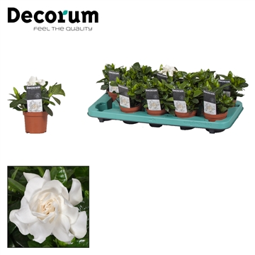 Gardenia Jasminoides 9cm Royal Offer