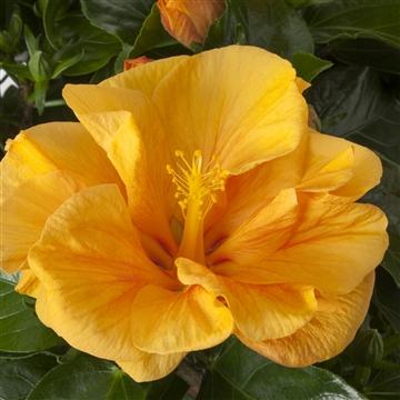 Hibiscus op stam - 15 cm - Jazz (orange) - Decorum
