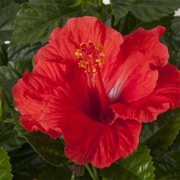 Hibiscus op stam - 19 cm - Bordeaux (red) - Decorum