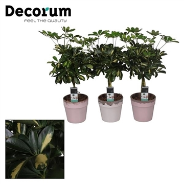 Collectie Love & Touch - Schefflera Gold Capella vlecht in pot Milou (Decorum)