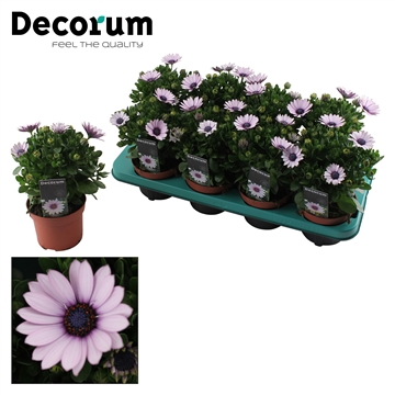 Osteospermum Purple Illumination