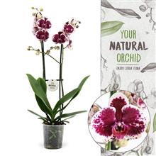 """Artikel #83251 (PURPLE R. 2T: Phalaenopsis """"Purple Rain"""" 2-tak)"""