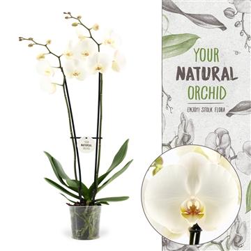 """Phalaenopsis wit 2-tak """"Grootbloemig 70cm"""""""