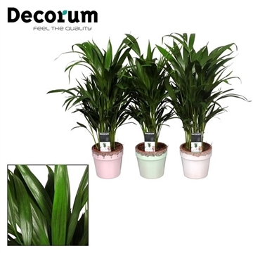 Collectie Love & Touch - Dypsis in pot Milou (Decorum)