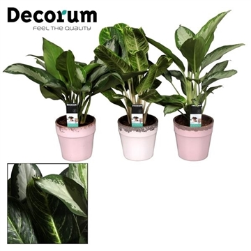 Collectie Love & Touch - Aglaonema gemengd in pot Milou (Decorum)