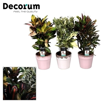 Collectie Love & Touch - Codiaeum gemengd in pot Milou (Decorum)