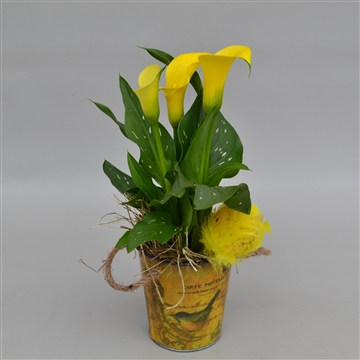 Zantedeschia Little Spring Bucket HL7478