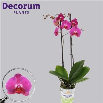 Phalaenopsis 2-Tak Danic 60cm R2-3