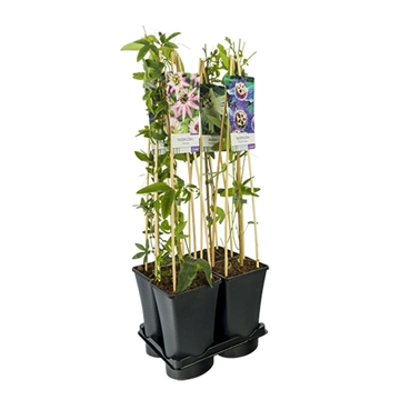 Mixtray van passiflora 3.0