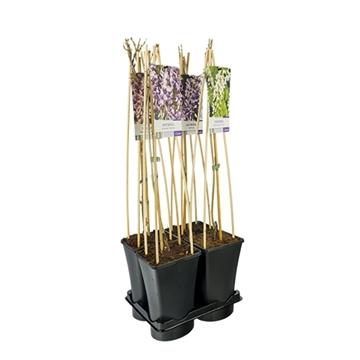 Mixtray van wisteria 3.0