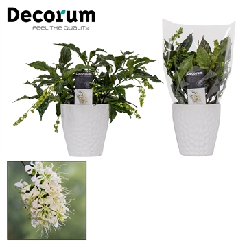 Clerodendrum Prospero Honey wit