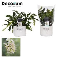 Clerodendrum Prospero Home pot