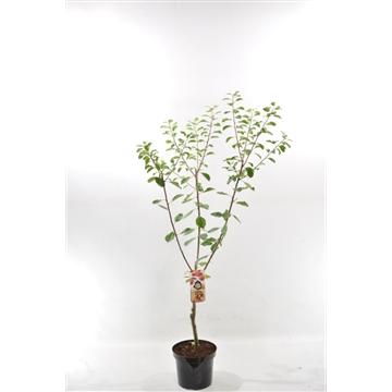 Prunus dom. 'Victoria'