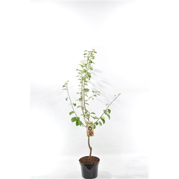 Prunus dom. 'Reine-Claude d'Oullins'