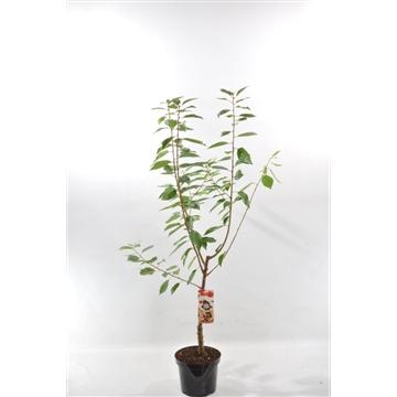 Prunus cer. 'Dubbele Meikers'