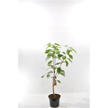 Prunus a. 'Kordia'