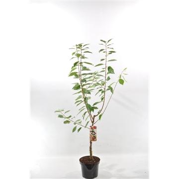 Prunus a. 'Hedelfinger'