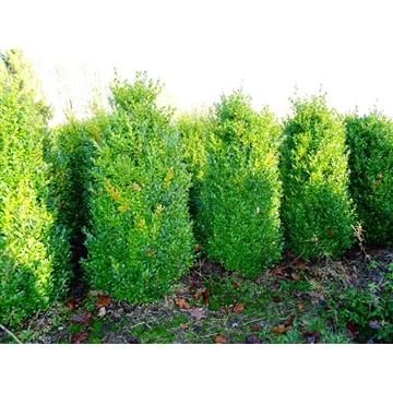 Buxus sempervirens, plantmaat 100-120