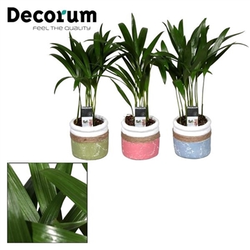 Dypsis lutescens (Areca) 7 cm in pot Joy (Decorum)