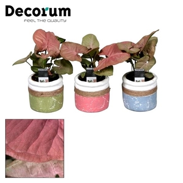 Syngonium Neon Robusta 7 cm in pot Joy (Decorum)