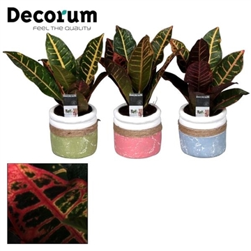 Croton Petra kopstek 7 cm in pot Joy (Decorum)