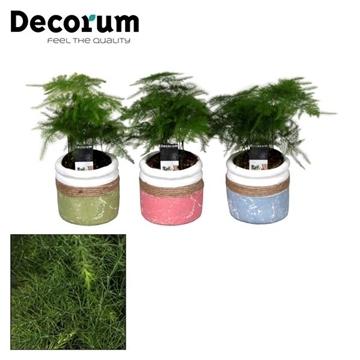 Asparagus Plumosus 7 cm in pot Joy (Decorum)