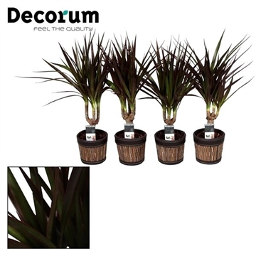 Dracaena Magenta stam 7 cm in Mexx pot (Decorum)