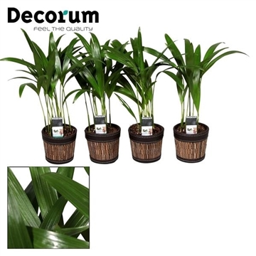 Dypsis lutescens (Areca) 7 cm in Mexx pot (Decorum)