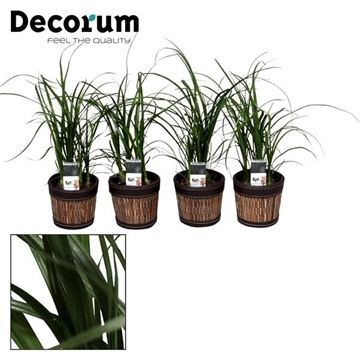 Nolina Bushy 7 cm in Mexx pot (Decorum)