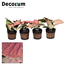 Syngonium Neon Robusta 7 cm in Mexx pot (Decorum)