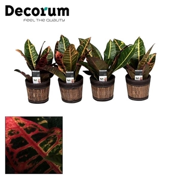 Croton Petra kopstek 7 cm in Mexx pot (Decorum)