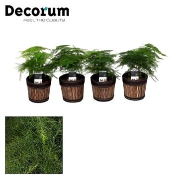 Asparagus Plumosus 7 cm in Mexx pot (Decorum)