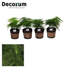 Artikel #247741 (220611: Asparagus Plumosus 7 cm in Mexx pot (Decorum))