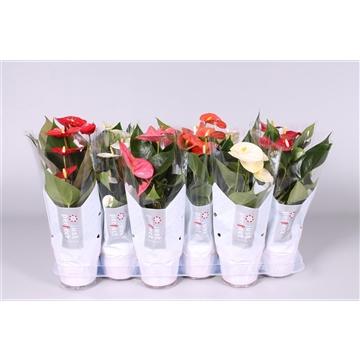 Anthurium ''Just perfect®'' XL-Flowers mix