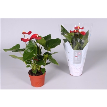 Anthurium Piccolo ''Just perfect®'' (XL-Flowers)