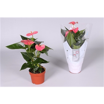 Anthurium Sweet Dream ''Just perfect®'' (XL-Flowers)