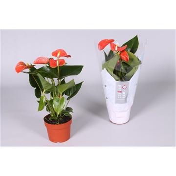 Anthurium Orange Champion ''Just perfect®'' (XL-Flowers)