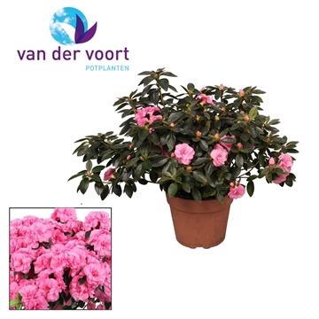 Tuinazalea 17 cm Roze Kleurtonend