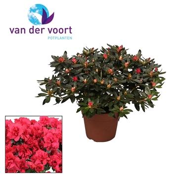 Tuinazalea 17 cm Rood Kleurtonend