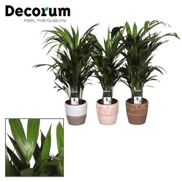 Collectie Reflection of Pure - Dypsis (Areca) 30+ zaden in Marrit pot (Decorum)