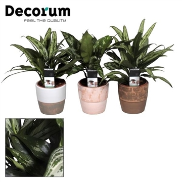 Collectie Reflection of Pure - Aglaonema gemengd in Marrit pot (Decorum)