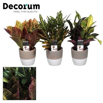Collectie Reflection of Pure - Croton kopstek mix in Marrit pot (Decorum)