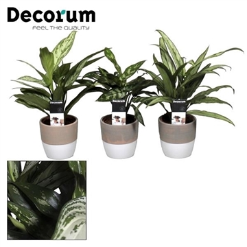Collectie Reflection of Pure - Aglaonema mix in Marrit pot (Decorum)