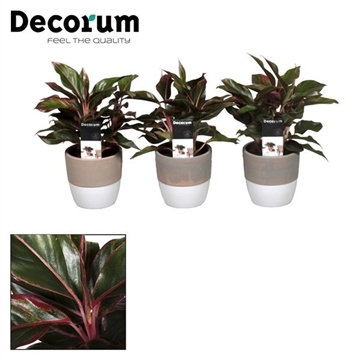 Collectie Reflection of Pure - Aglaonema Crete in Marrit pot (Decorum)