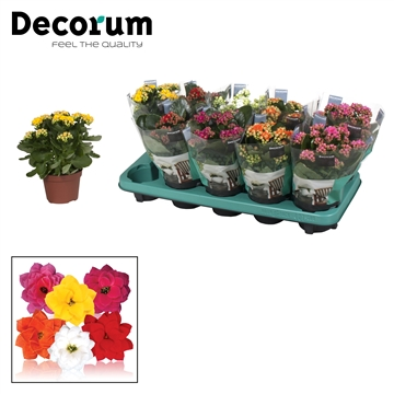 Kalanchoë Decorum - 5 Kleuren mix
