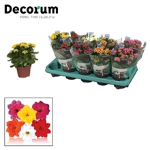 Kalanchoë Decorum - 5 Colors Mix