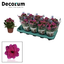 Kalanchoe Decorum - Serenity Purple