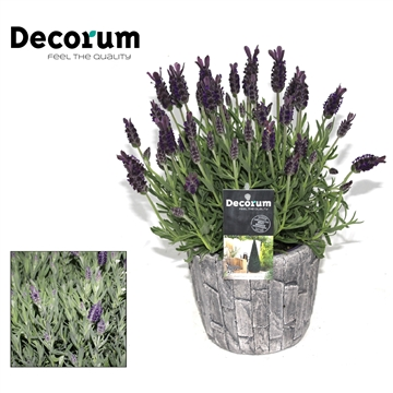 Lavandula Anouk in Sierpot Decorum P12